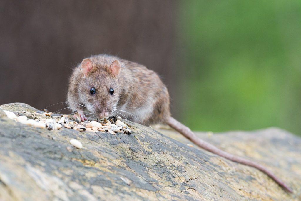 ako sa zbaviť potkanov