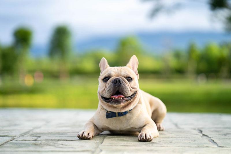 francúzsky buldoček mená pre psa