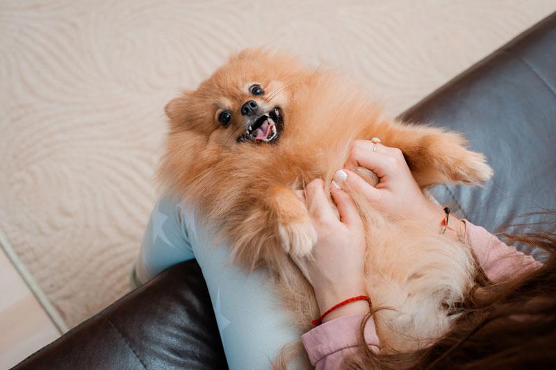 pomeranian psík