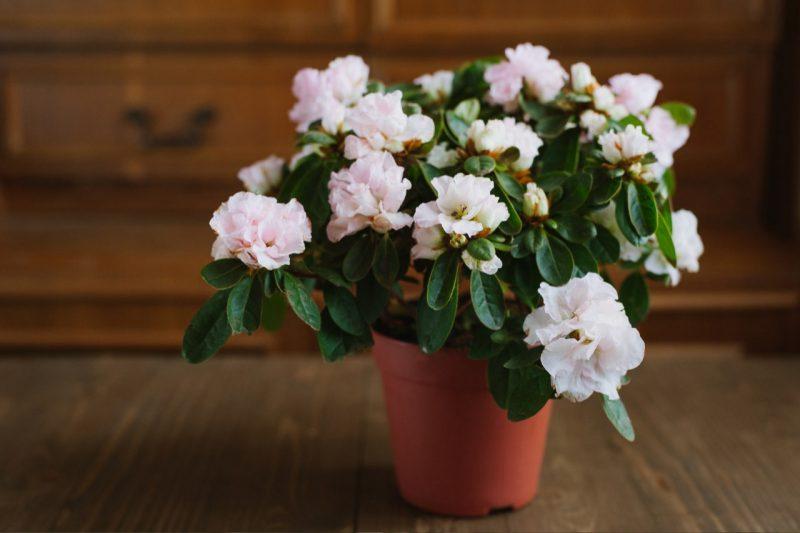 biely rododendron v črepníku