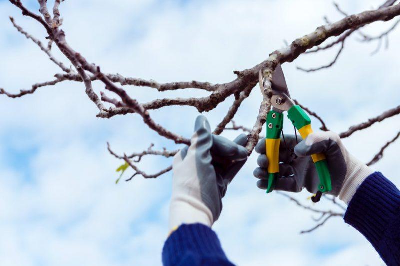 strihanie ovocných stromov nožnicami