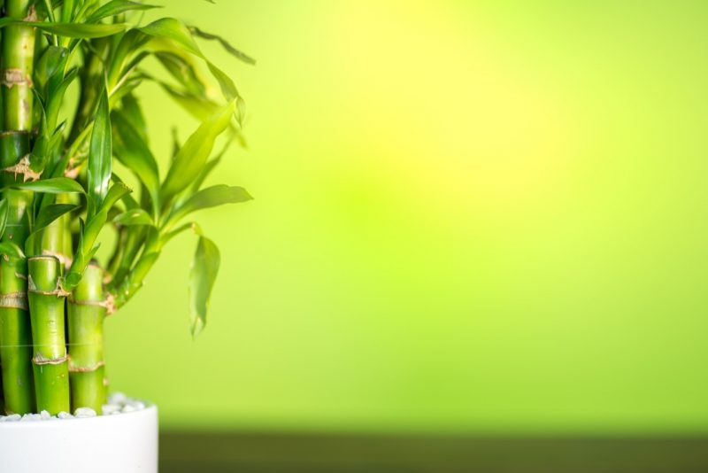 zelený bambus šťastia