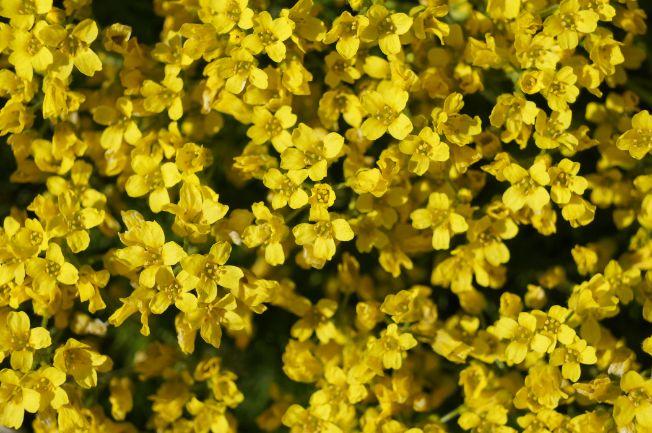 žlté kvety rozchodníka