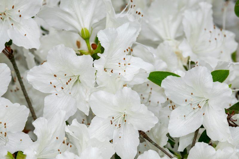 biele azalky