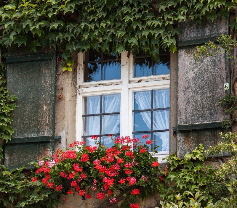 červené muškáty na okne
