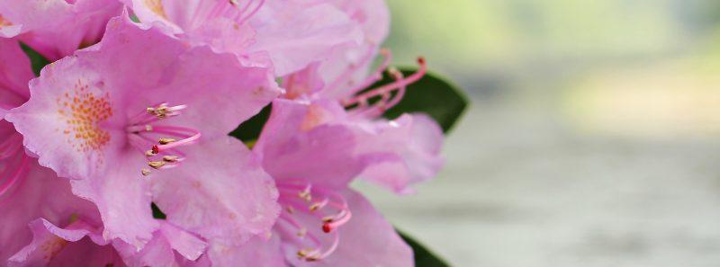 ružové azalky